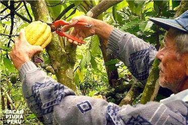 Producción nacional de cacao crecerá 15% este año, estiman
