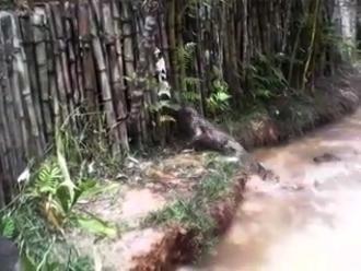 WhatsApp: alimentan a caimanes con gatos en restaurante de Nauta en Loreto