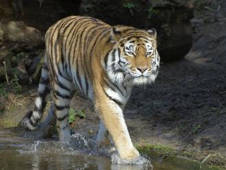 Georgia: tigre anda suelto luego que otro matara a una persona