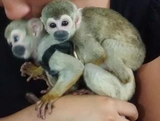 Policía del Medio Ambiente decomisó dos monos tití en Chiclayo