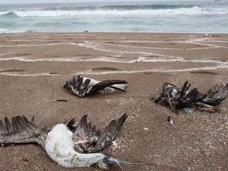 Aves encontradas sin vida en litoral murieron por ahogamiento