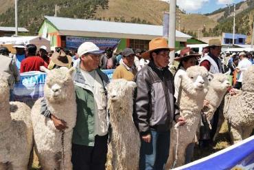 Minagri destina fondo para el sector alpaquero nacional