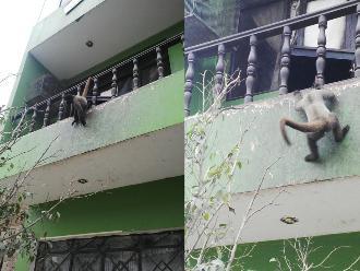 SJL: mono es captado en malas condiciones en una vivienda