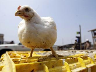 APA: Producción de pollos creció en 10% a mayo de este año