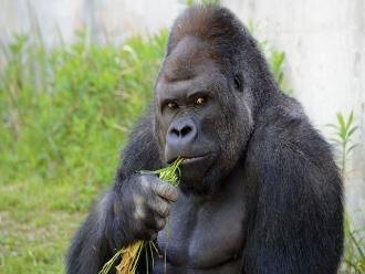 Twitter: conoce a Shabani, el gorila más guapo del mundo