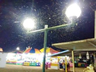 Pacasmayo: pobladores temen por plaga de insectos en campo ferial