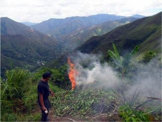 Perú erradicó 17.500 hectáreas ilegales de hoja de coca en lo que va de año
