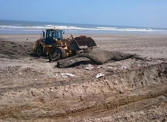 Entierran a ballena de 15 toneladas que varó en playa de Chiclayo