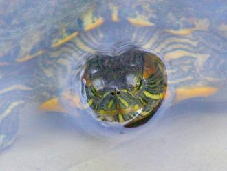 Aprende a cuidar tortugas acuáticas en invierno