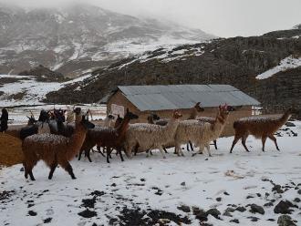 Puno: Más de 12,000 crías de alpaca murieron por bajas temperaturas