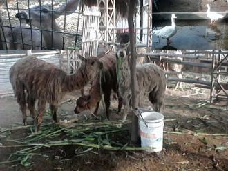 Puno: requisan animales silvestres en cautiverio por municipalidades