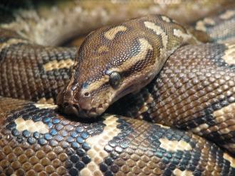 Científicos descubren el secreto del método letal de la boa constrictor