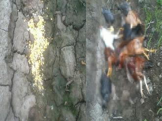 WhastApp: envenenan a aves en Ancash