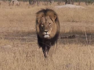 Un estadounidense es acusado de matar al león más querido de Zimbabue