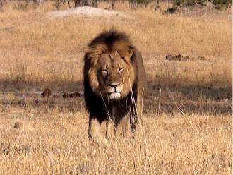 ¿Por qué todo Internet está hablando de un león llamado Cecil?