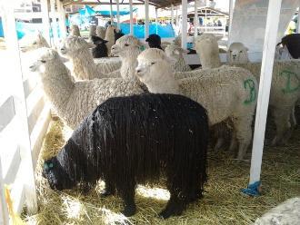 Puno: productores realizan feria por el Día Nacional de la Alpaca
