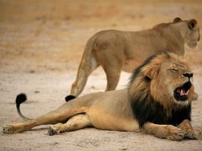 Tras muerte de Cecil, Zimbabue investiga caza ilegal de un segundo león