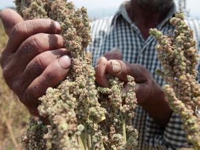 Perú desplaza a Bolivia como mayor productor de quinua, según el INE