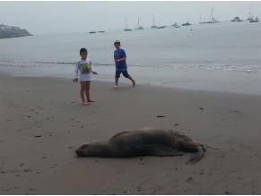 WhatsApp: lobo marino varado en playa de Ancón