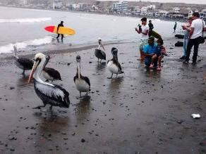 Huanchaco: pelícanos aparecen en orillas del mar por falta de alimento