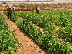 Conveagro: Agricultura caería entre 20% y 50% por Fenómeno El Niño en 2015