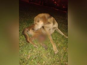 WhatsApp: solicitan ayuda para perro con tumor abandonado en Surco
