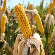 La Libertad: Agricultores de maíz anuncian protesta por bajos precios