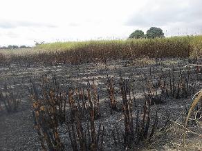 WhatsApp: Quema de caña genera contaminación y peligro en Virú
