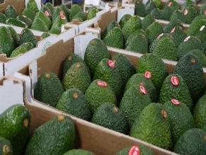 Lambayeque: primera cosecha de paltas de Olmos saldrá en nueve meses