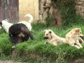 Puno: requieren más de un millón de soles para vacunación de canes