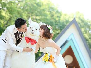 Japón: alpacas son la nueva sensación en las bodas