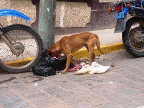 Arequipa: alcaldes no muestran interés para prevenir rabia canina