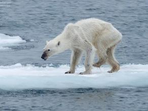 Facebook: Foto de osa polar debilitada crea conciencia sobre el cambio climático