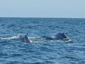 Facebook: ballenas azules fueron vistas en mar de Piura