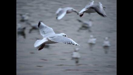 Advierten que casi todas las aves marinas ingerirán plástico en 2050