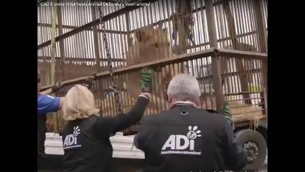 Leones rescatados de circos en Perú y Colombia volverán al África