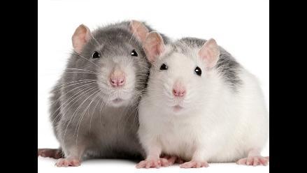 La rata: razones por las que sería una mascota ideal