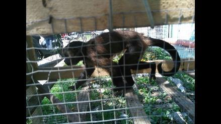 Policías recuperan mono que causó destrozos en vivienda de Chiclayo
