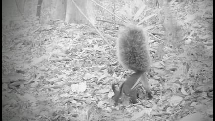 YouTube: Captan por primera vez a la 'ardilla vampiro' de Borneo
