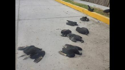 Bagua: Muerte de 21 gallinazos tras comer perro envenenado causó indignación