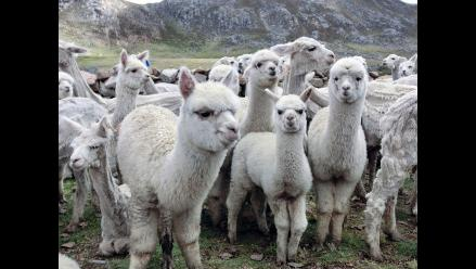 Huaral: sujetos asaltan granja y se llevan 600 cabezas de ganado