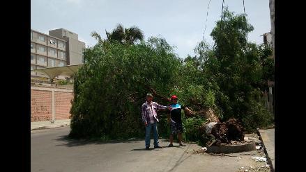 Chiclayo: vecinos piden intervención de municipio tras caída de árbol