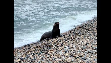 Lambayeque: Imarpe pide a pescadores no atacar a lobos marinos