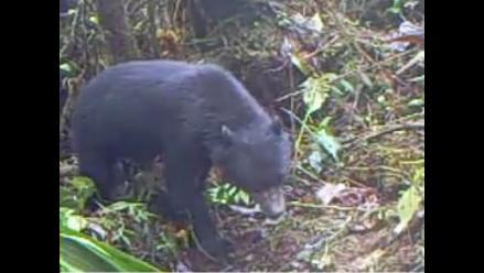 Captan primeras imágenes de oso de anteojos en Reserva Comunal El Sira