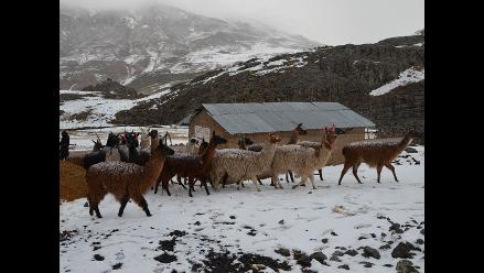 Huancavelica: reportan la muerte del 25% de camélidos por friaje