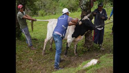Ántrax: solicitan declarar en cuarentena los ganados de Piura