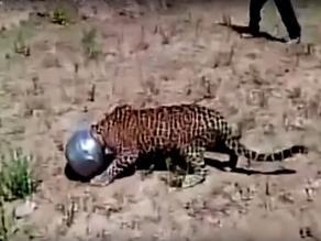YouTube: leopardo se mete en problemas pero nadie lo ayuda por temor