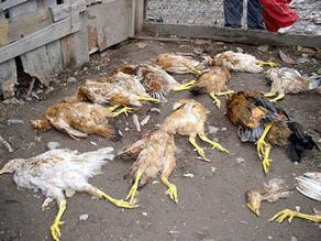 Senasa investiga cuadros de cólera aviar en la sierra de Piura