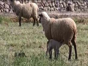 Arequipa: agricultura y ganadería serían afectados por el Fenómeno El Niño