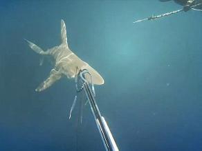 Buzo reaccionaba tres segundos después y tiburón podía habérlo comido